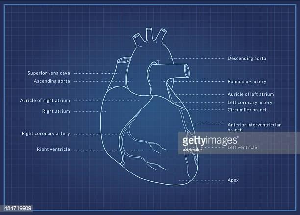 human heart - biomedical illustration stock illustrations