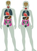 Human Internal Organ Diagram