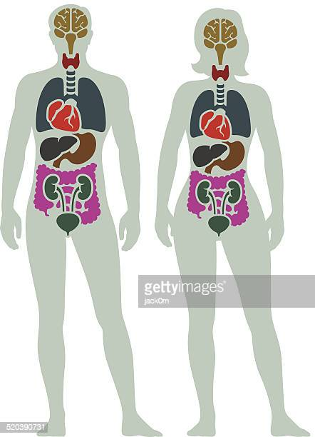 human internal organ diagram - the human body stock illustrations