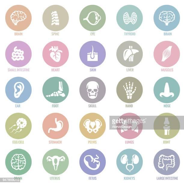 ilustrações, clipart, desenhos animados e ícones de órgão interno humano ícones - termo anatômico