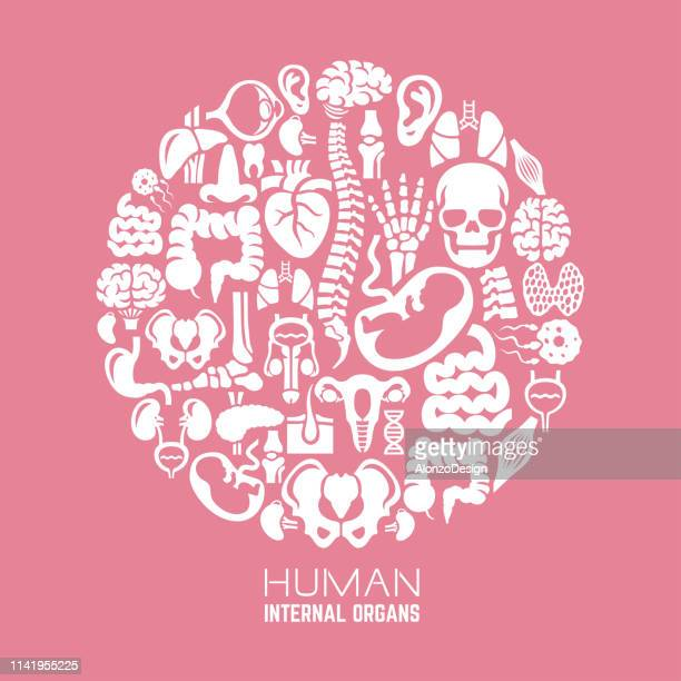 human internal organs composition - small intestine stock illustrations