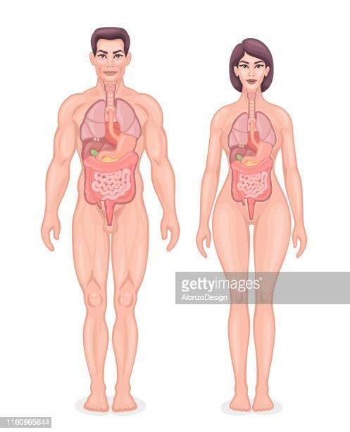 human internal organs diagram - female anatomy stock illustrations