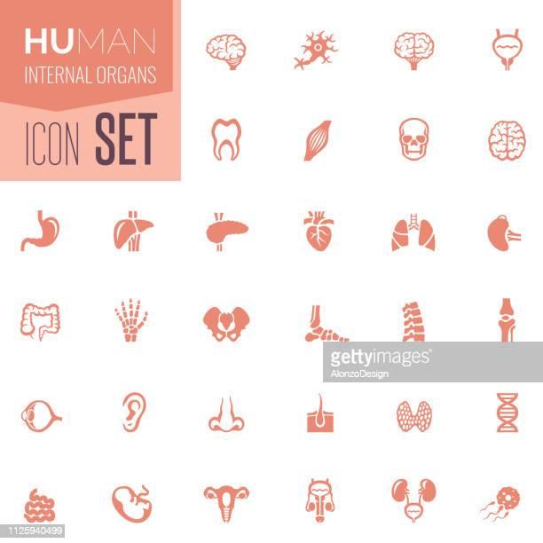 human internal organs icon set - human large intestine stock illustrations