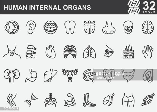 human internal organs line icons - physiology stock illustrations