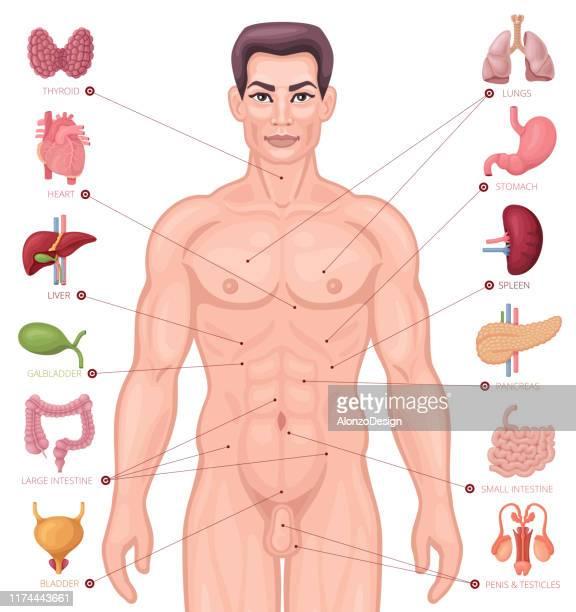 人間の内臓の局在化。男性の体。 - 人体図点のイラスト素材/クリップアート素材/マンガ素材/アイコン素材