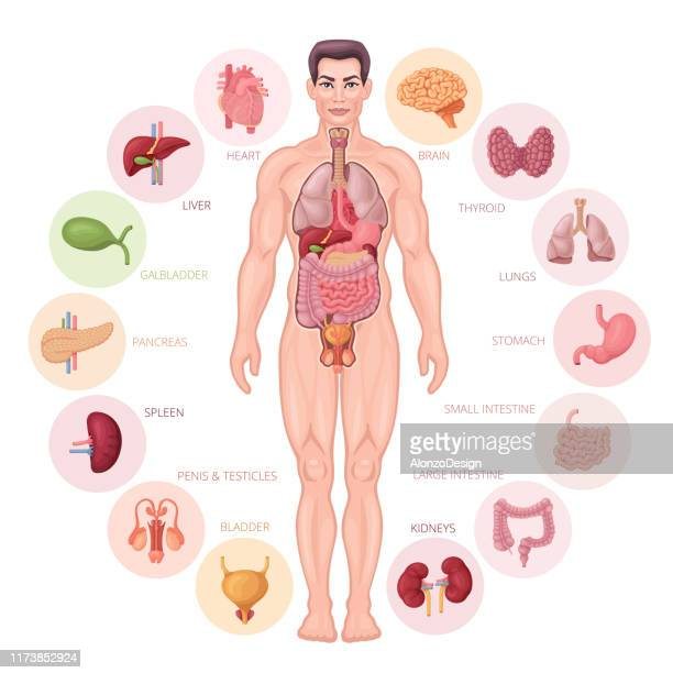 human internal organs. male body vector. - frontal lobe stock illustrations, clip art, cartoons, & icons