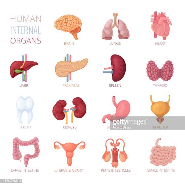 human internal organs - human intestine stock illustrations