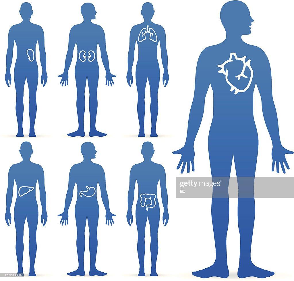 Human Internal Organs : stock illustration