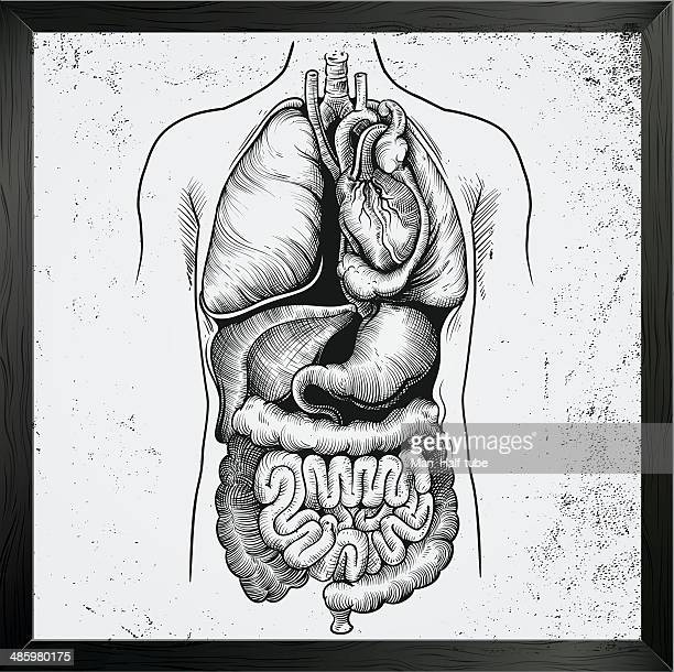 human internal organs - digestive system stock illustrations