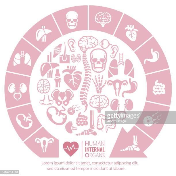 ilustrações, clipart, desenhos animados e ícones de os órgãos internos - articulação humana termo anatômico