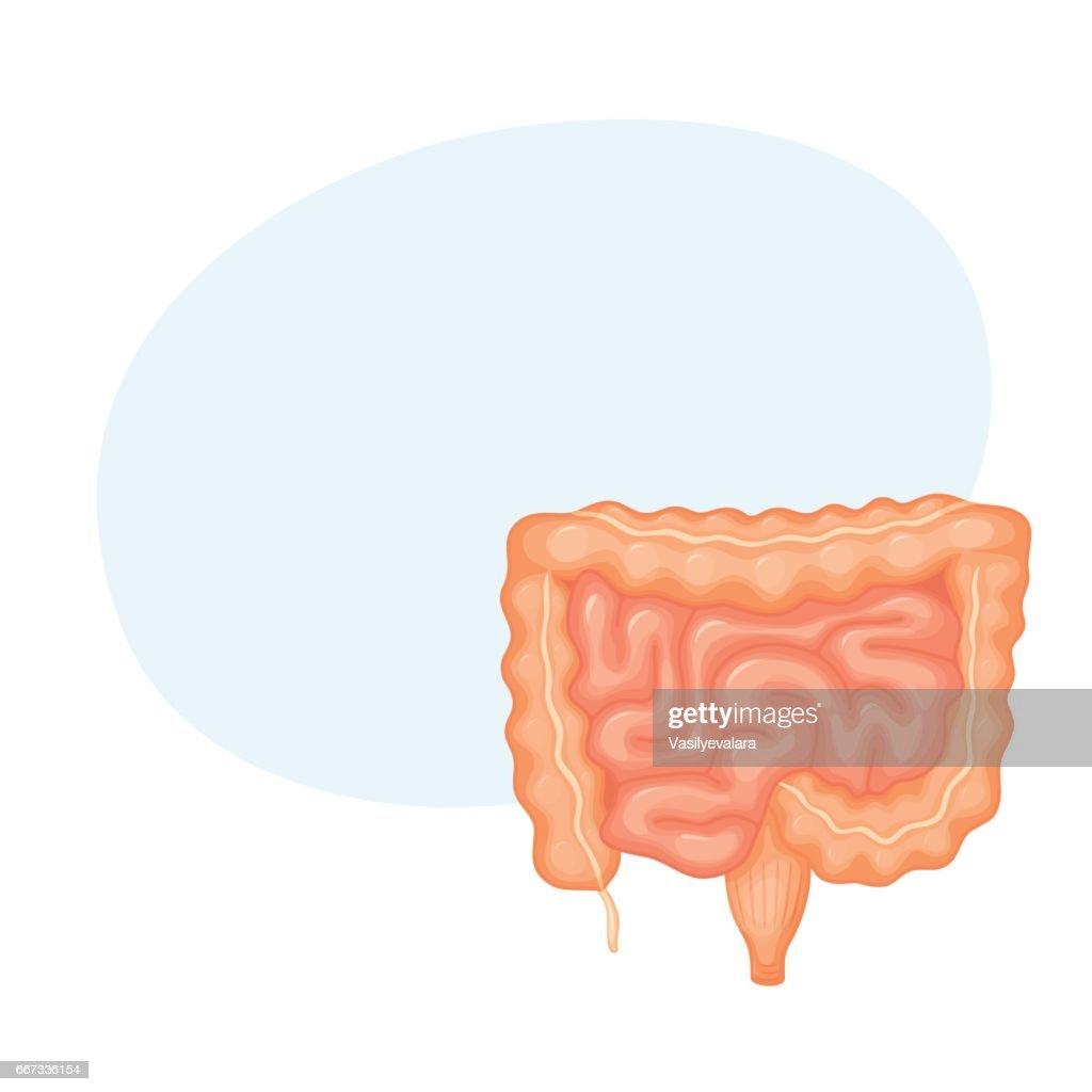 Human Intestines Anatomy Vector Art Getty Images