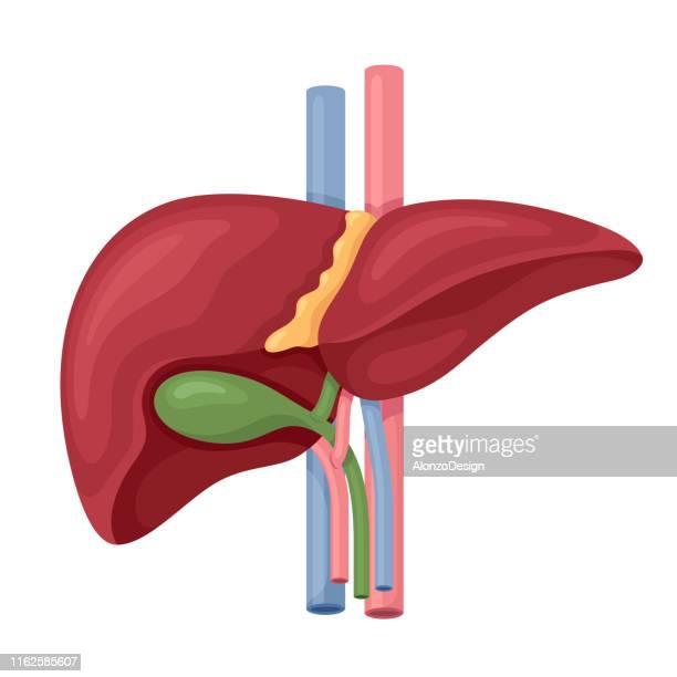 human liver anatomy vector - human liver stock illustrations