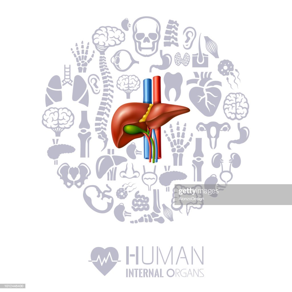 Human Liver Human Internal Organs Collage Vector Art | Getty Images