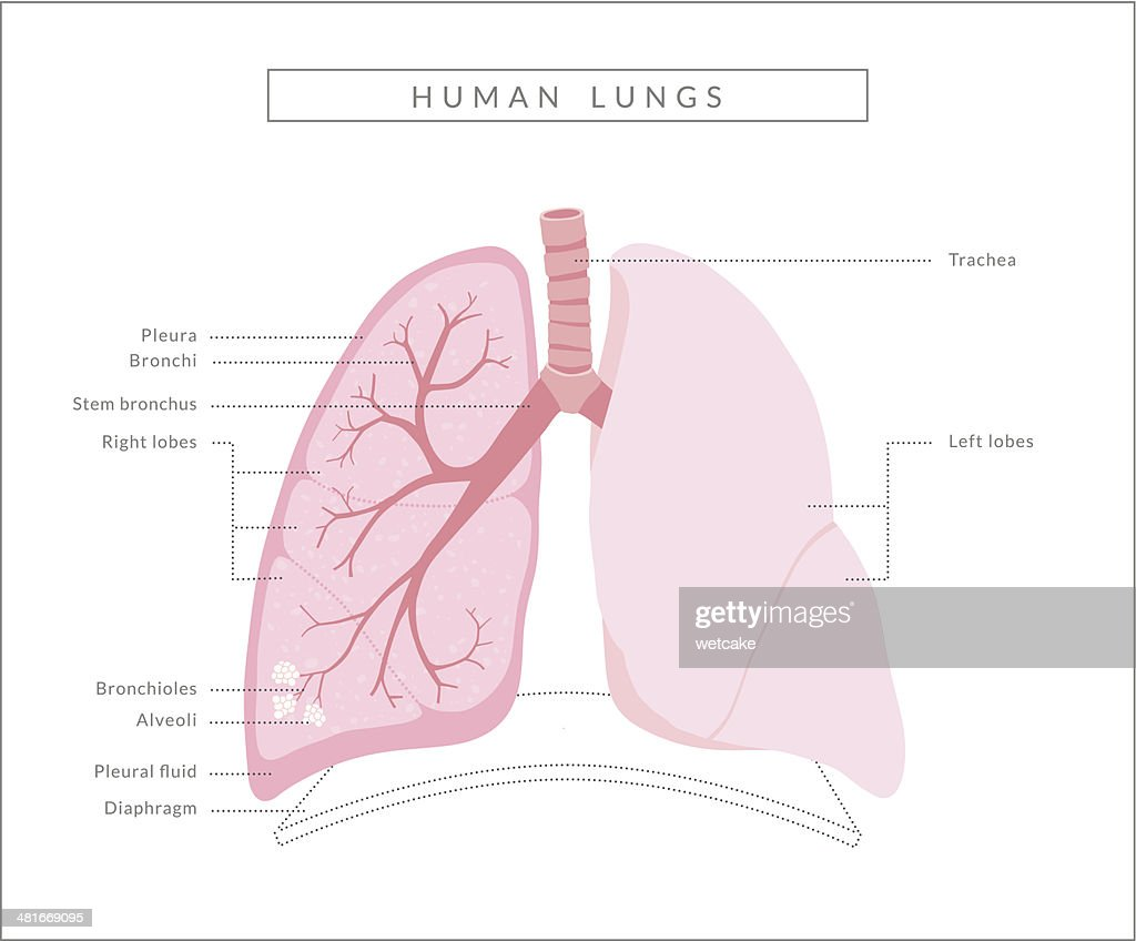 Human lungs diagram vector art getty images human lungs diagram vector art ccuart Gallery