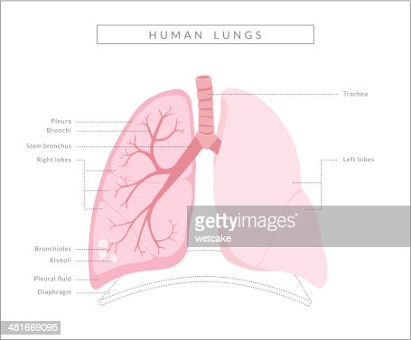 Human Lungs Diagram Vector Art Getty Images