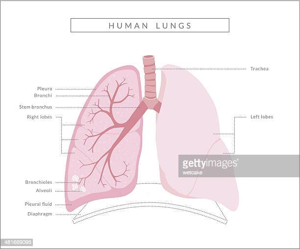 human lungs diagram - lung stock illustrations
