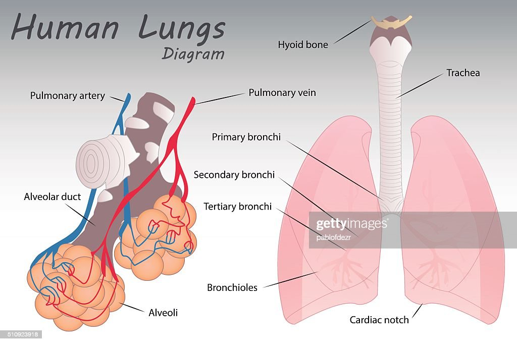 Magnificent Human Lungs Diagram Image Anatomy Ideas Yunokifo