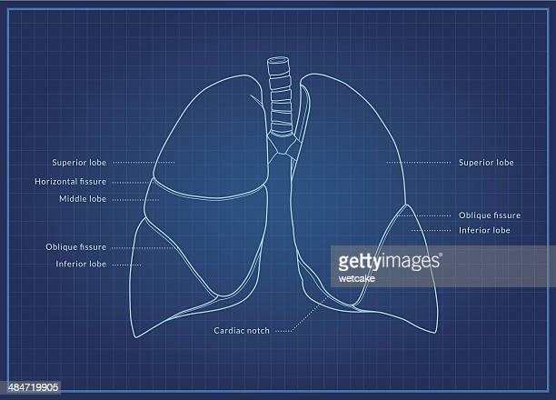 human lungs - respiratory system stock illustrations, clip art, cartoons, & icons