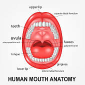 Human mouth anatomy, open mouth with explaining