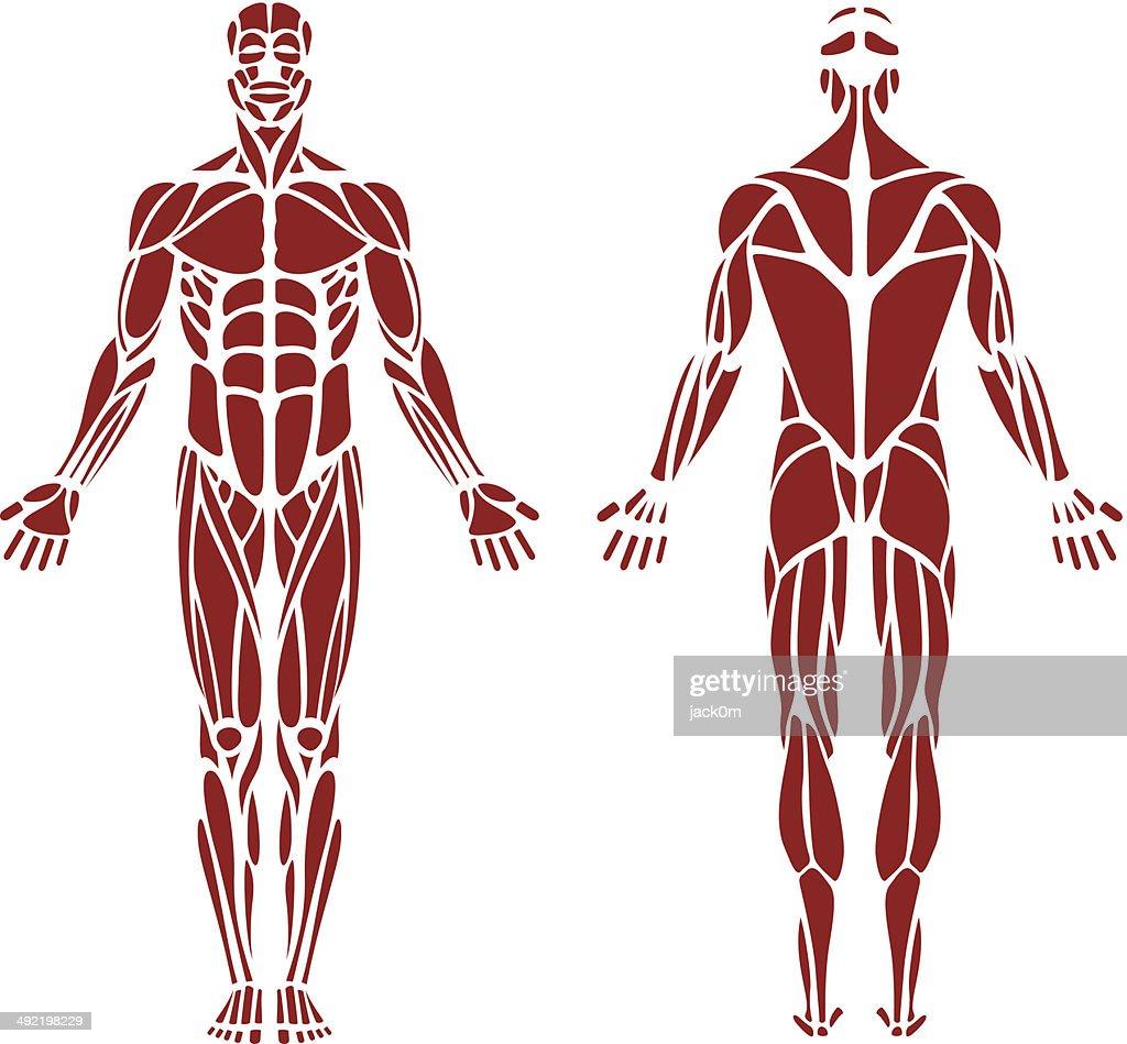 Músculo humano : Ilustración de stock