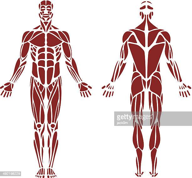 human muscle - the human body stock illustrations