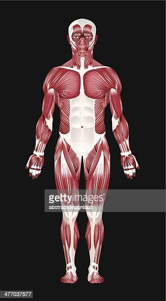 Human Muscular System - Front