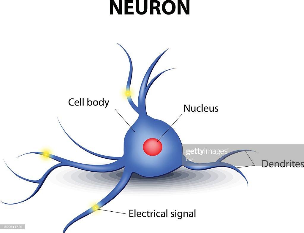 human neuron on a white background
