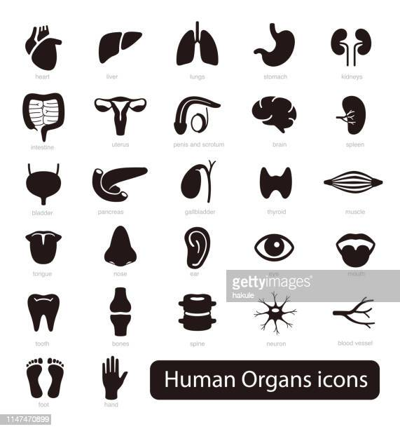 human organs icon set, vector illustration - human intestine stock illustrations