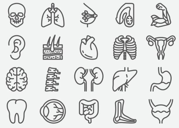 human organs line icons - heart shape stock illustrations