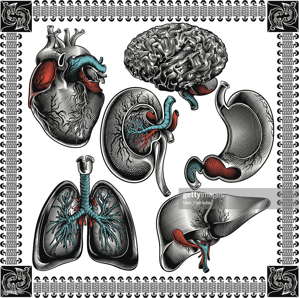 Human organs : stock illustration