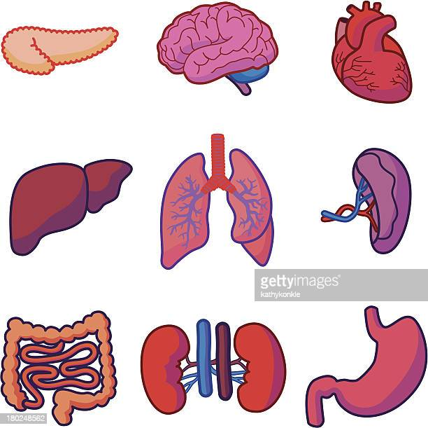 human organs - human body part stock illustrations