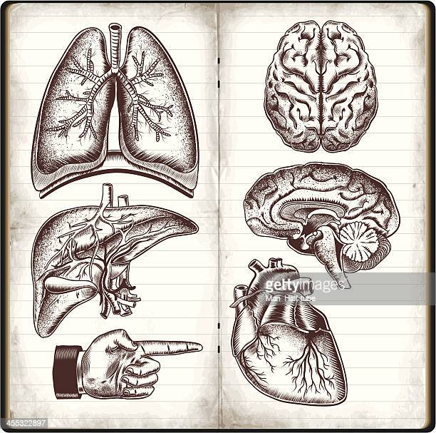 human organs - anatomy stock illustrations