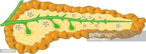 human pancreas - human pancreas stock illustrations, clip art, cartoons, & icons