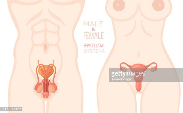 ilustraciones, imágenes clip art, dibujos animados e iconos de stock de sistema reproductivo humano. vector de anatomía. - masturbacion