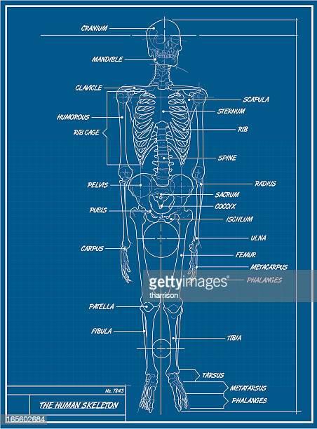 Menschliches Skelett Technische Zeichnung