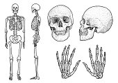 Human skeleton collection illustration, drawing, engraving, ink, line   art, vector