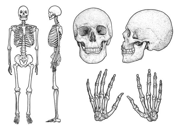 Free human skeleton Images, Pictures, and Royalty-Free