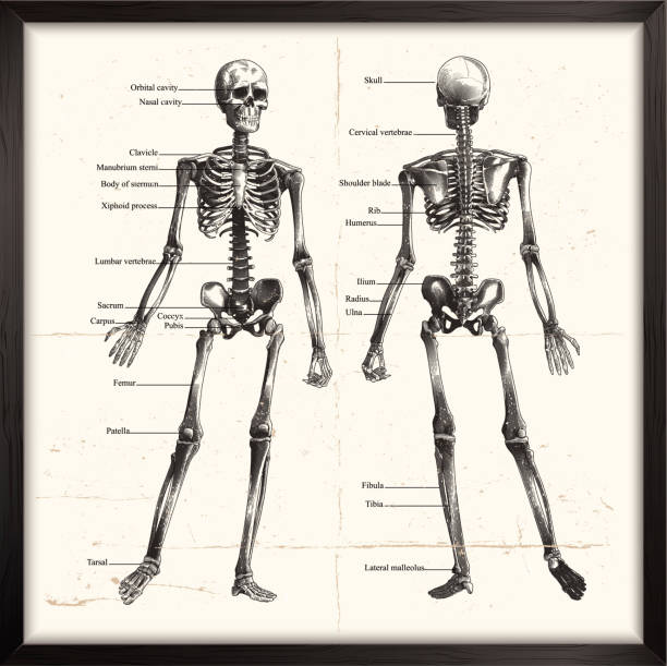 human skeleton. engraving - human body part stock illustrations