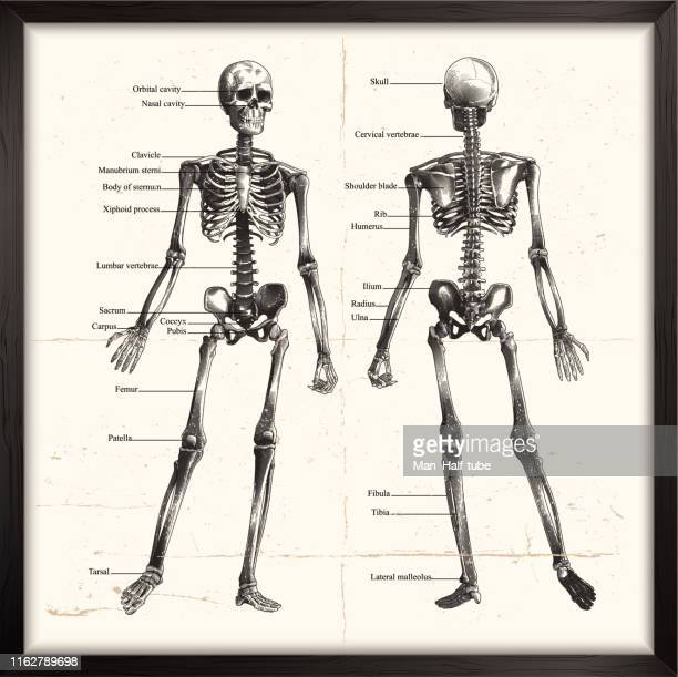 human skeleton. engraving - woodcut stock illustrations