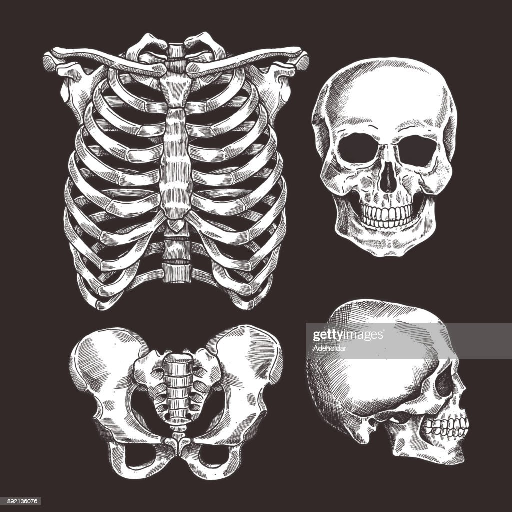 Human skeleton sketch set. Rib cage, skull. Vector illustration