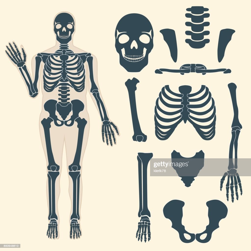 Human skeleton with different parts. Anatomy of human body, wrist and thorax, chest, finger and skull, jaw and pelvis. Skeleton didactic or anatomical body