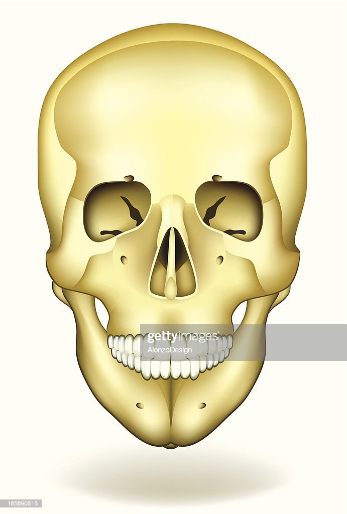 Human Skull Front View Vector Art Getty Images