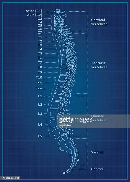 Human Spine Blueprint