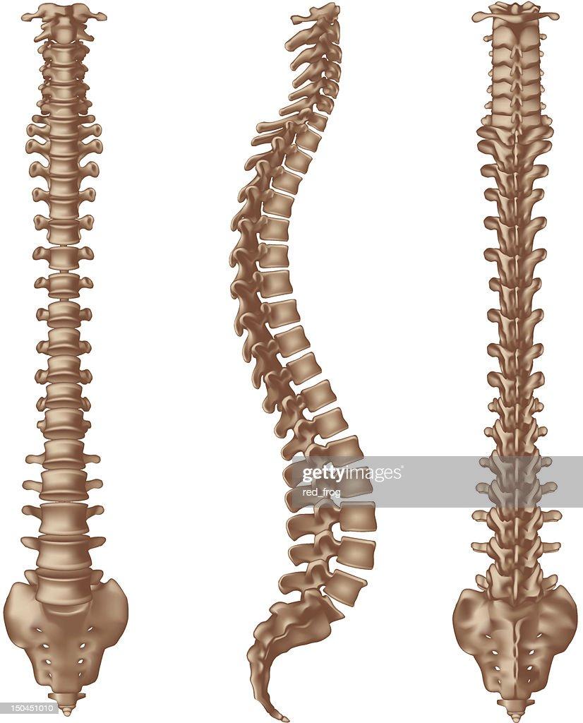 Human Spine Bones Vector Art Getty Images