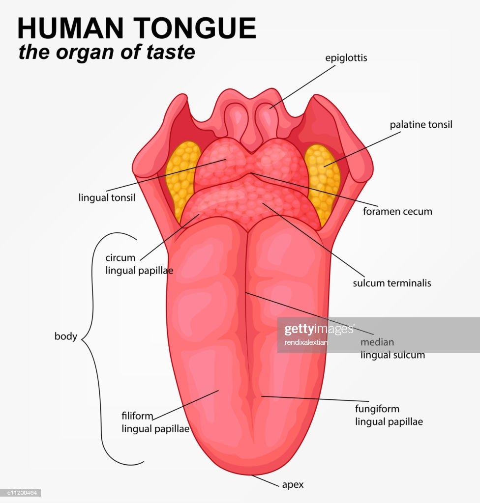 Menschliche Zunge Struktur Comic Vektorgrafik   Getty Images