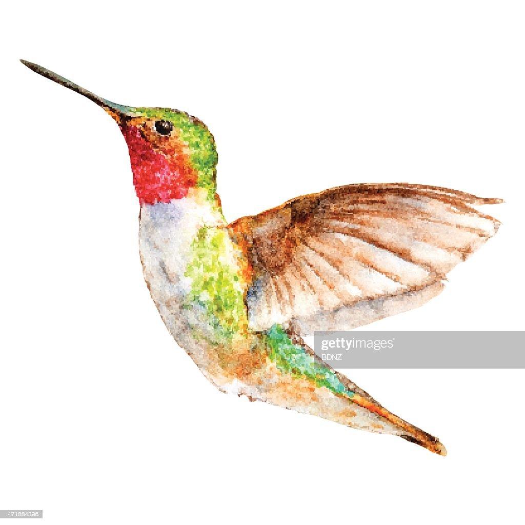 Hummingbird Watercolor Sketch, Vector Illustration.