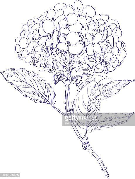 hydrangea - hydrangea stock illustrations