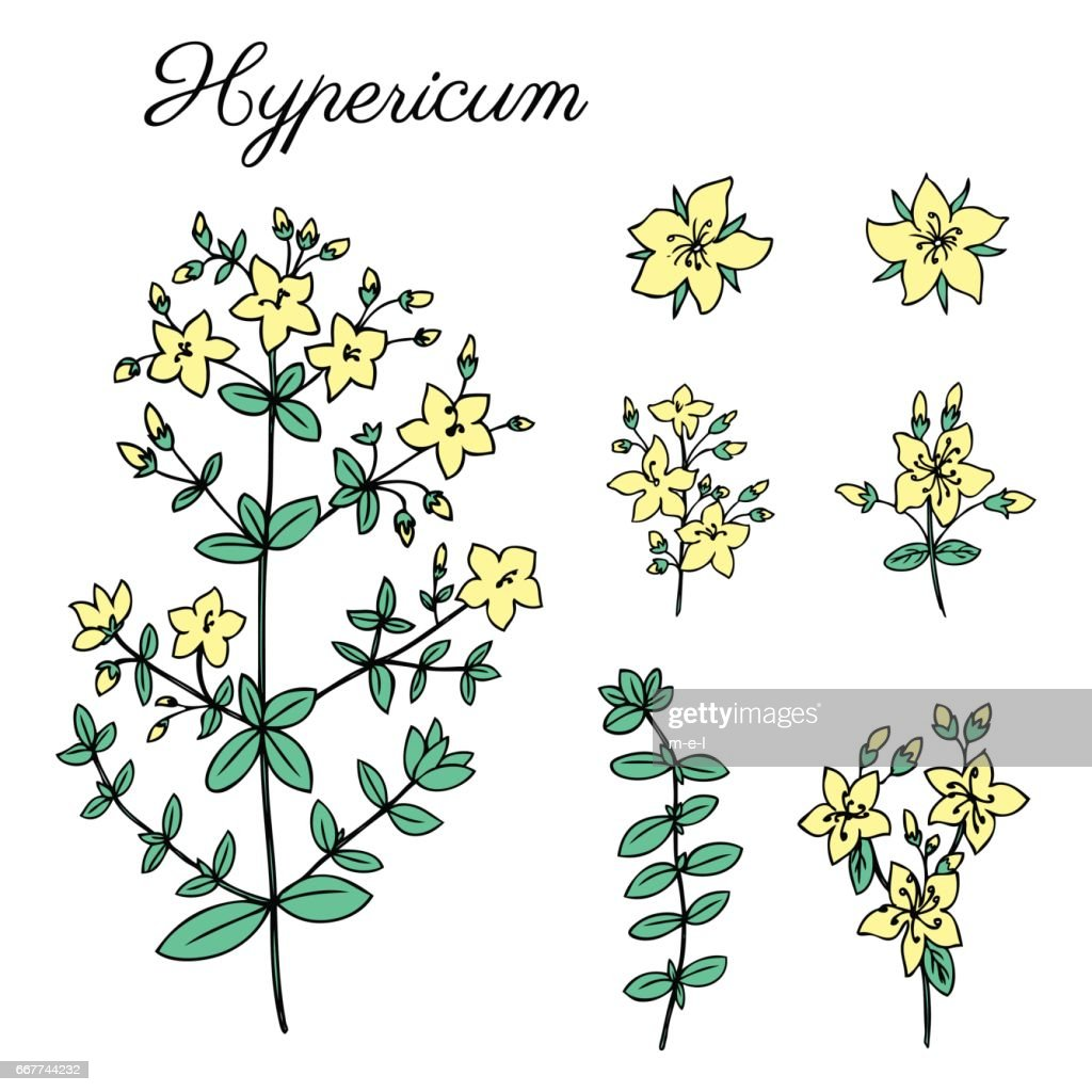 Hypericum, St. John's wort or Hartheu branch vector sketch hand drawn healing herb isolated on white, Tutsan herbs, Collection herb perfect for card,cosmetic,store