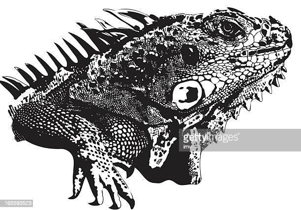 ilustraciones, imágenes clip art, dibujos animados e iconos de stock de iguana ilustración de cara - iguana