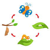 illustration life cycle butterfly